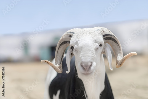 Sahelian Ram with a black and white coat