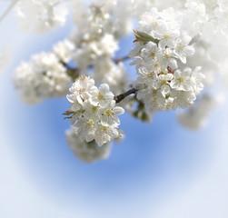 weiße Kieschblüten