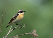 Whinchat on the burdock