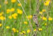 Whinchat on the dry flower