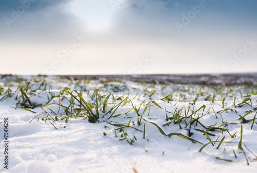 Wheat under snow - 75414296
