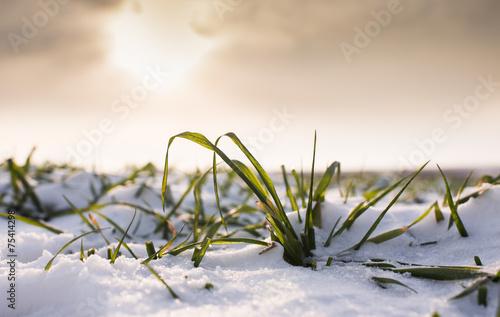 Wheat under snow - 75414298