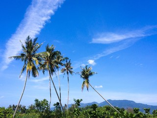 Tall growing coconut trees