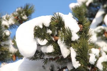Kiefer mit Schnee und Zapfen vor blauem Himmel