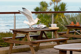 Seagull scavenging from plate on table at cafe poster