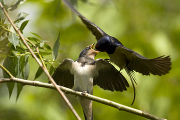 Swallow feeding baby bird (Hirundo rustica)