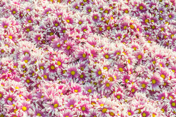 Autumn bright colored chrysanthemum flowers as background