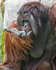 Orangutan Feeding His Face