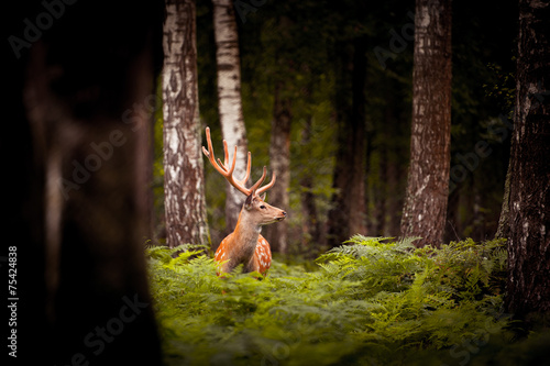 Poster Hert Whitetail Deer Buck standing in a woods