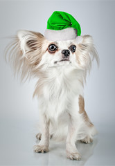 Longhair chihuahua  in Christmas Santa hat. Small dog