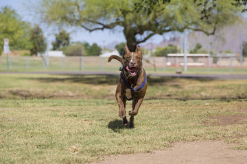 Happy Dog Running in the Park
