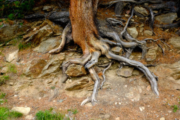 Roots of an old pine tree