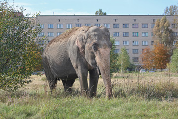 Elephant in the meadow near the house