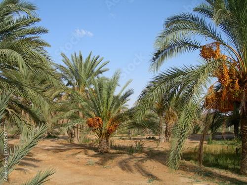 Fotobehang Tunesië The date palm tree