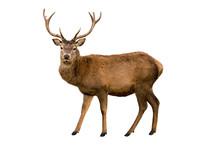 """Постер, картина, фотообои """"Red deer"""""""
