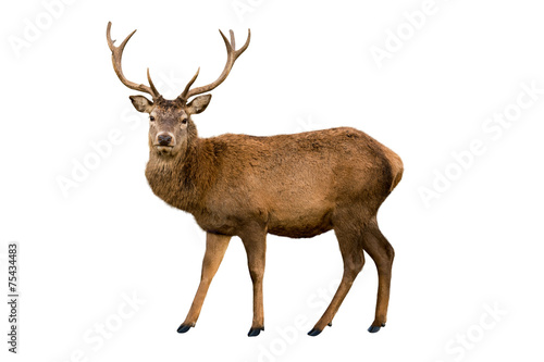 Red deer - 75434483