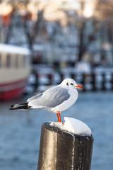 Harbor Seagull in Winter