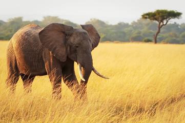 Elephant on the Masai Mara in Africa