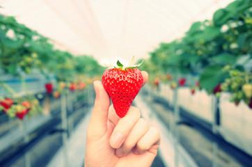 ビニールハウスで大きな採れたての赤い苺を手にもっているイメージ