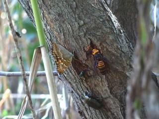 ヤナギの樹液に集う虫たち