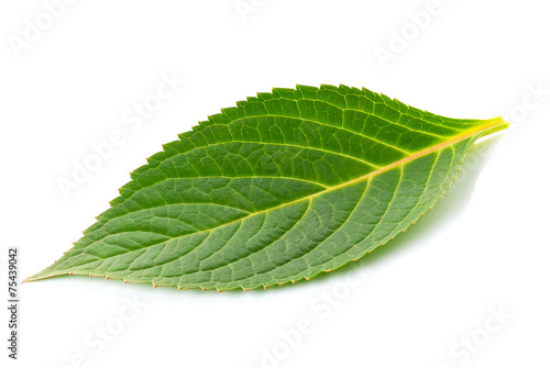 Fotobehang Lente Green leaf on white background