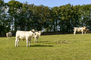 group of cows pasturing in Devon countryside near North Bovey