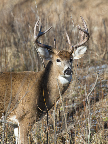 Papiers peints Cerf Whitetail Deer