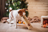 Fototapety Jack Russell dog at the Christmas and New Year