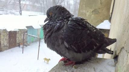 pigeon near a house window