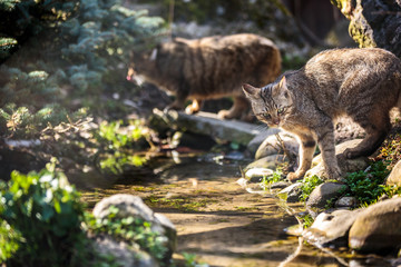 Wildcats (Felis silvestris) in their natural habitat