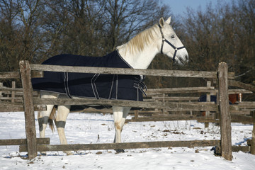 Warm Blood Grey Horse Standing In Winter Corral Rural Scene