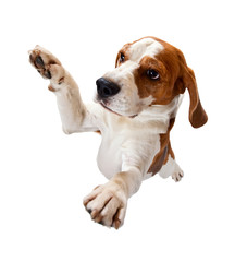 jumping beagle isolated on white
