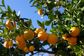 Greek Oranges