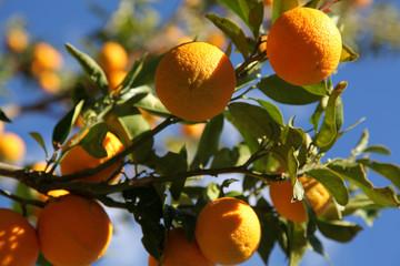 Christmas Orange harvest