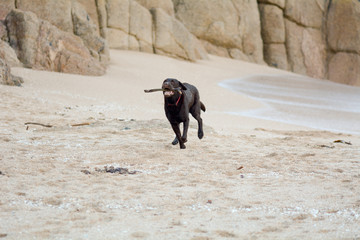 Labrador returning stick on the beach