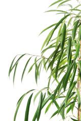 Close up on dracaena leaves