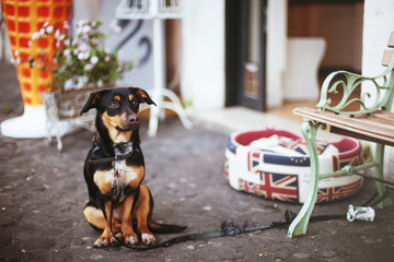 Dog waits for a master at the entrance