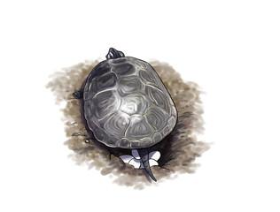 Terrapin turtle laying eggs