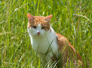 White-red cat in grass