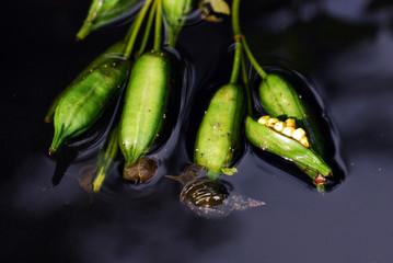 Spritzschlammschnecke an Wasserpflanze