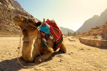 Camel taking a break on a desert path