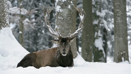 Rothirsch, Red deer, Cervus elaphus