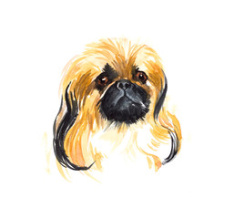 Pekinese. Portrait small dog.