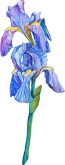 isolated detailed image of iris flower on a stem in watercolor s