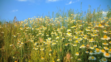camomile field on the wind