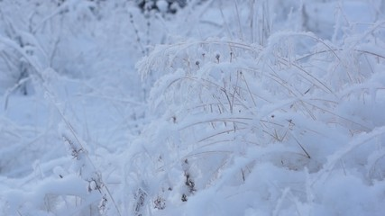 White snow covers meadow grass