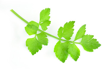 Coriander sprig isolated on white