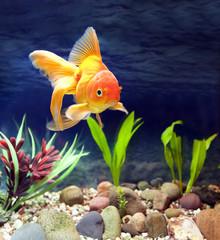 Red Fantail, Aquarium Native Gold Fish