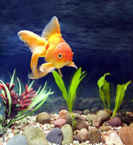 Red Fantail, Aquarium Native Gold Fish - 75470690