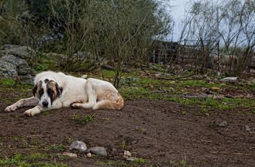 Spanish mastiff dog resting